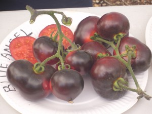 Variété de Tomate rouge / noire : Blue Angel