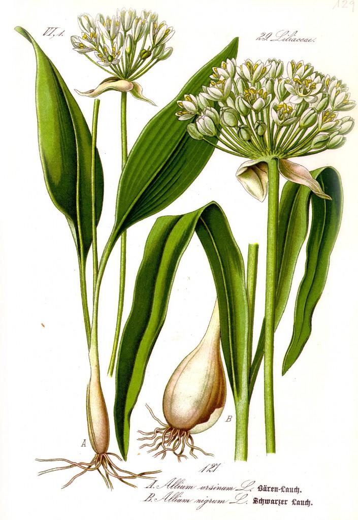 Illustration_Allium_ursinum1