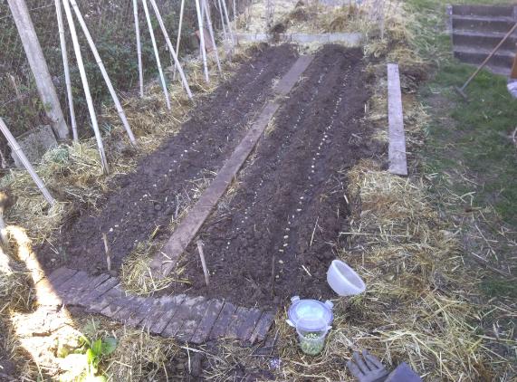 Des planches de cultures de semis de fèves